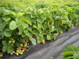 Eco Friendly fertilizer used to grow Strawberries